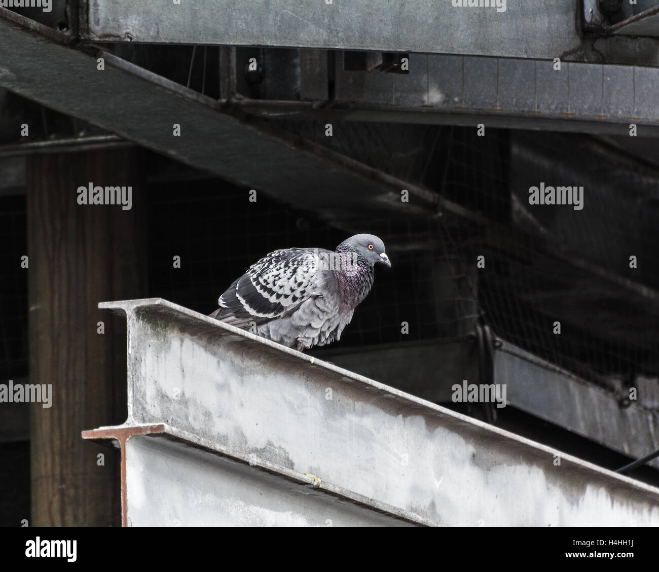 Pigeon among steel structures - Stock Image