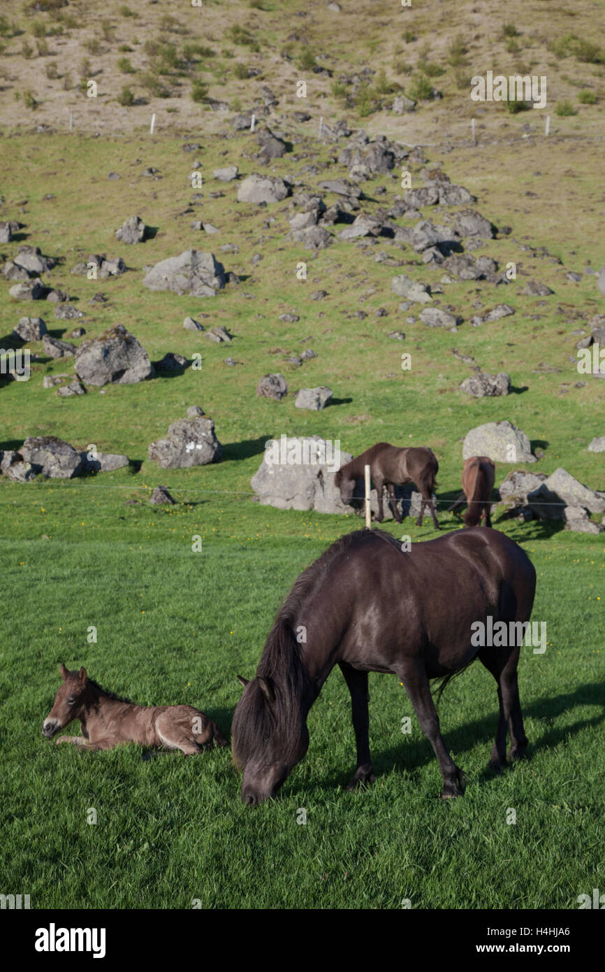 Mare and Foal, Iceland Stock Photo