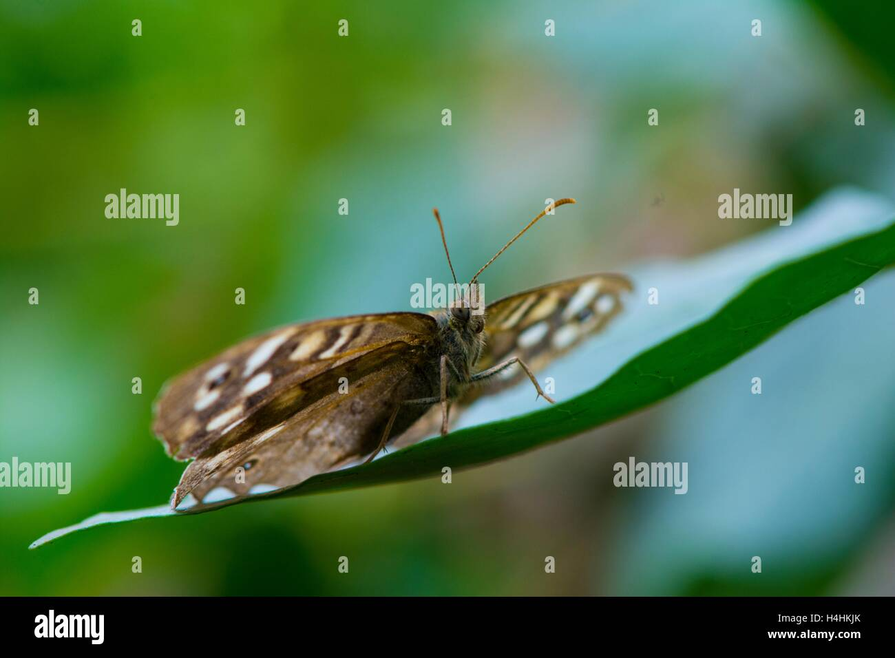 Speckled wood butterfly, Pararge aegeria. - Stock Image