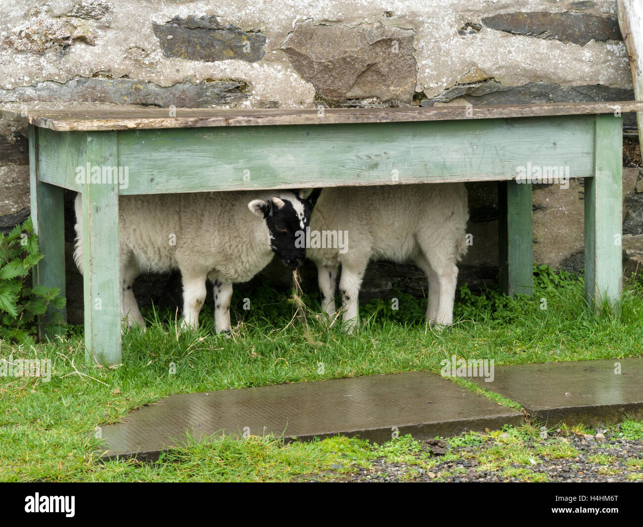 Two lambs sheltering from rain in the dry under and old wooden table, Isle of Colonsay, Scotland, UK. - Stock Image