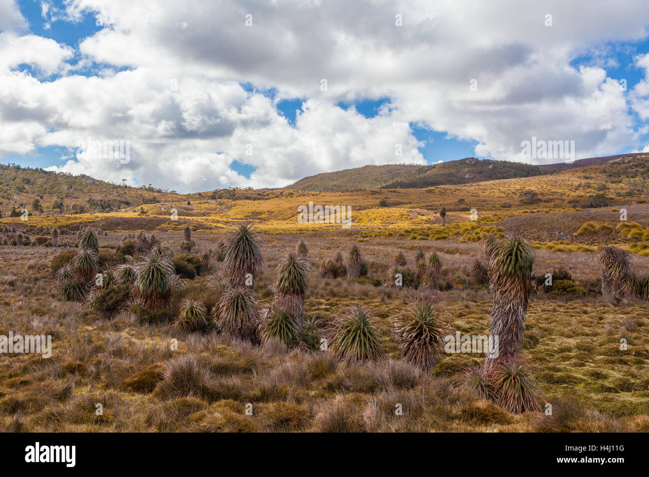Native vegetation on highland plains at Cradle Mountain National Park on bright sunny day. Tasmania, Australia - Stock Image
