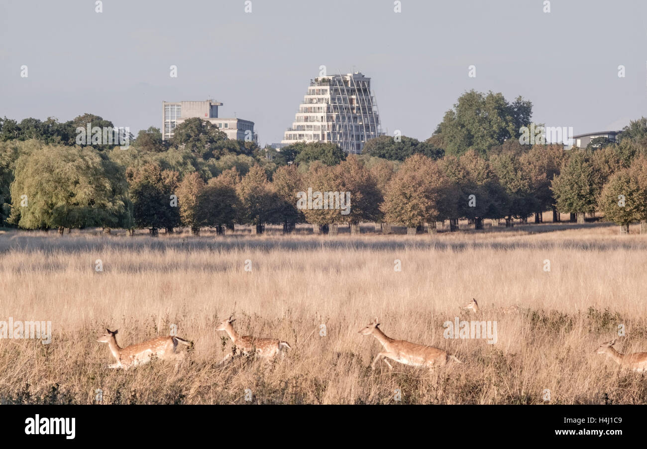 Deer running and leaping through Hampton Court Park in London - Stock Image