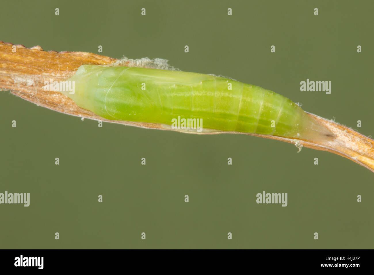 Eufala Skipper  Lerodea eufala Tucson, Arizona 10 October 2016      chrysalis or pupa     Hesperiidae    Pyrginae - Stock Image