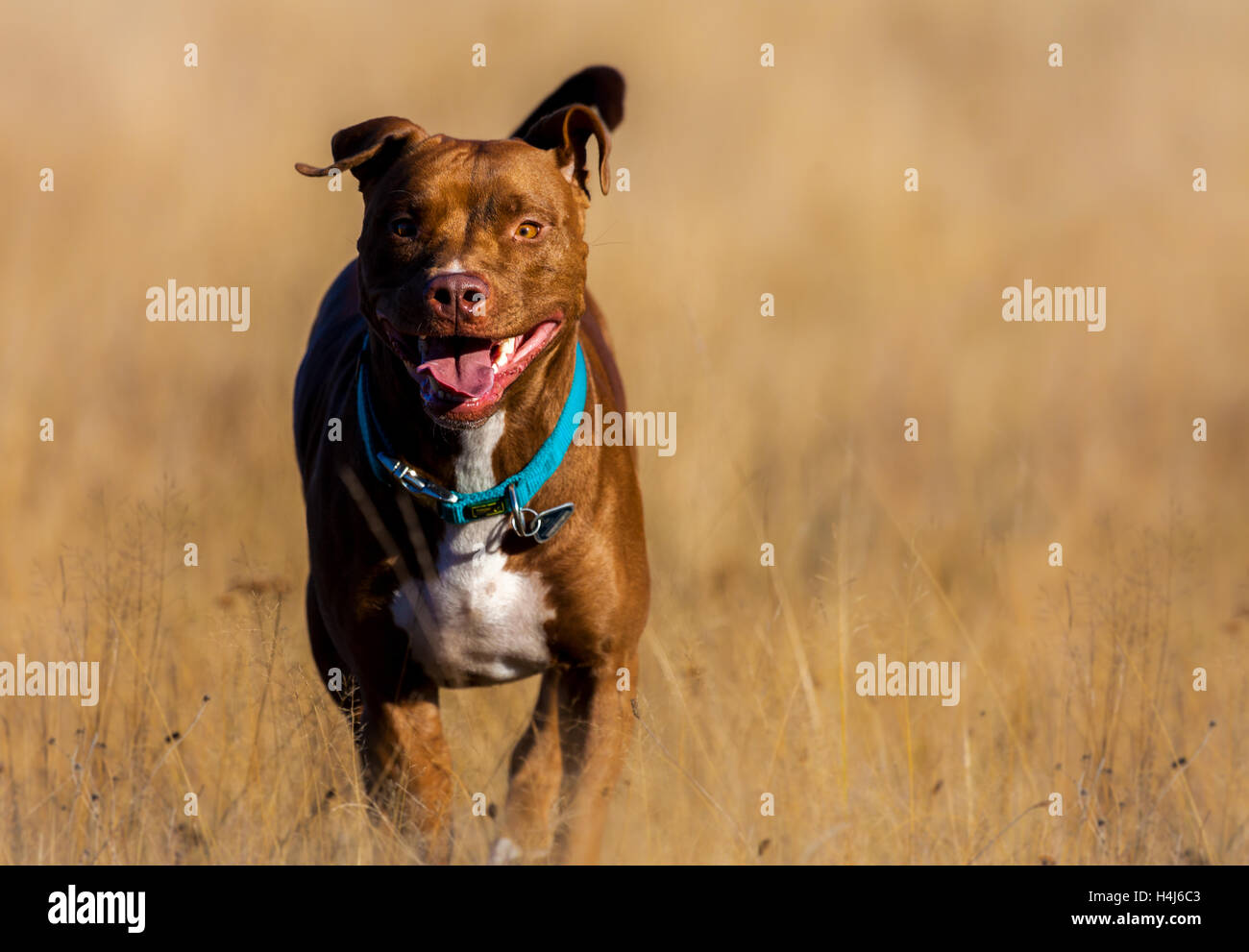 Staffordshire Terrier runs over a brown field - Stock Image