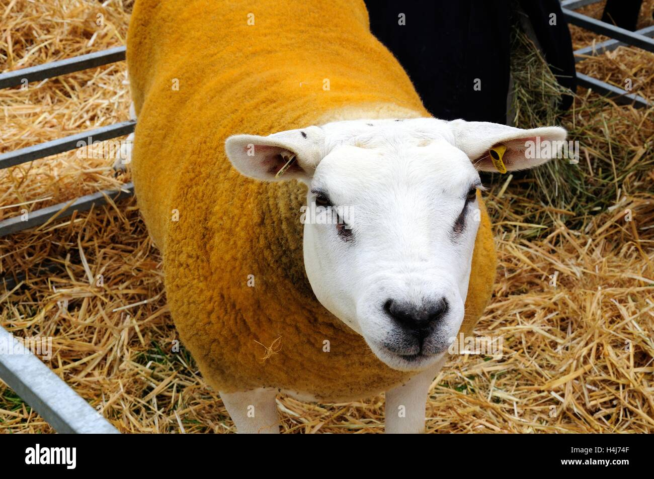Texel sheep ewe dyed orange in a pen at an agricultural show