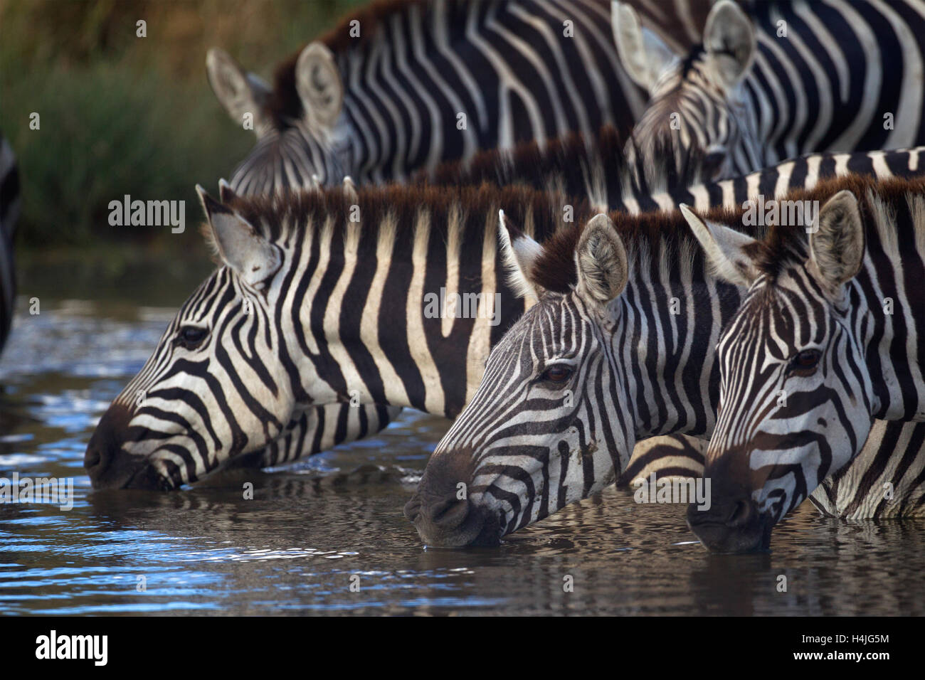 A herd of zebra quenching their thirst - Stock Image