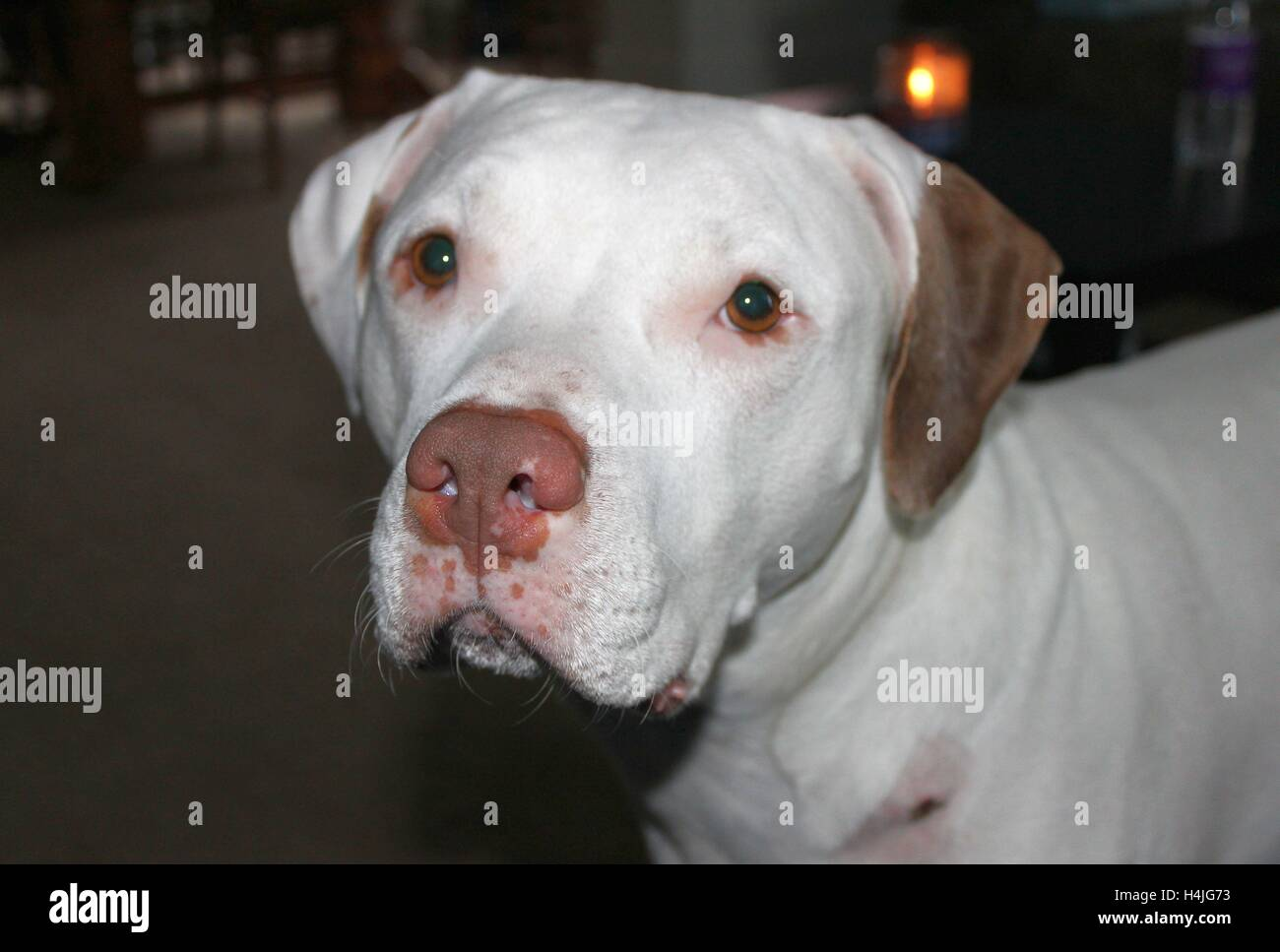 Tank; American Bull Dog and Pit Bull Mix - Stock Image