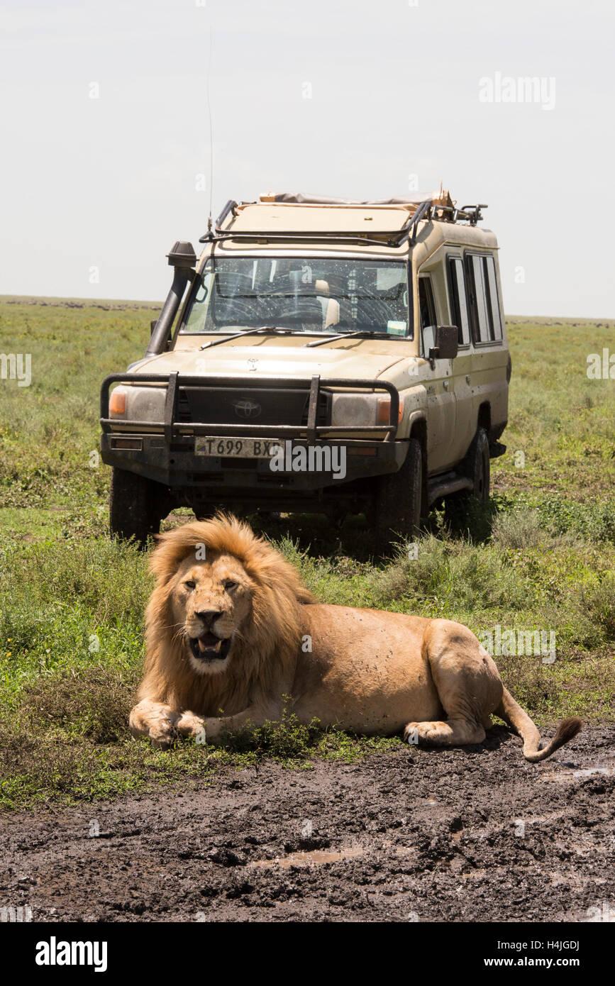 Tourists on safari watching a lion (Panthero leo), Serengeti National Park, Tanzania - Stock Image