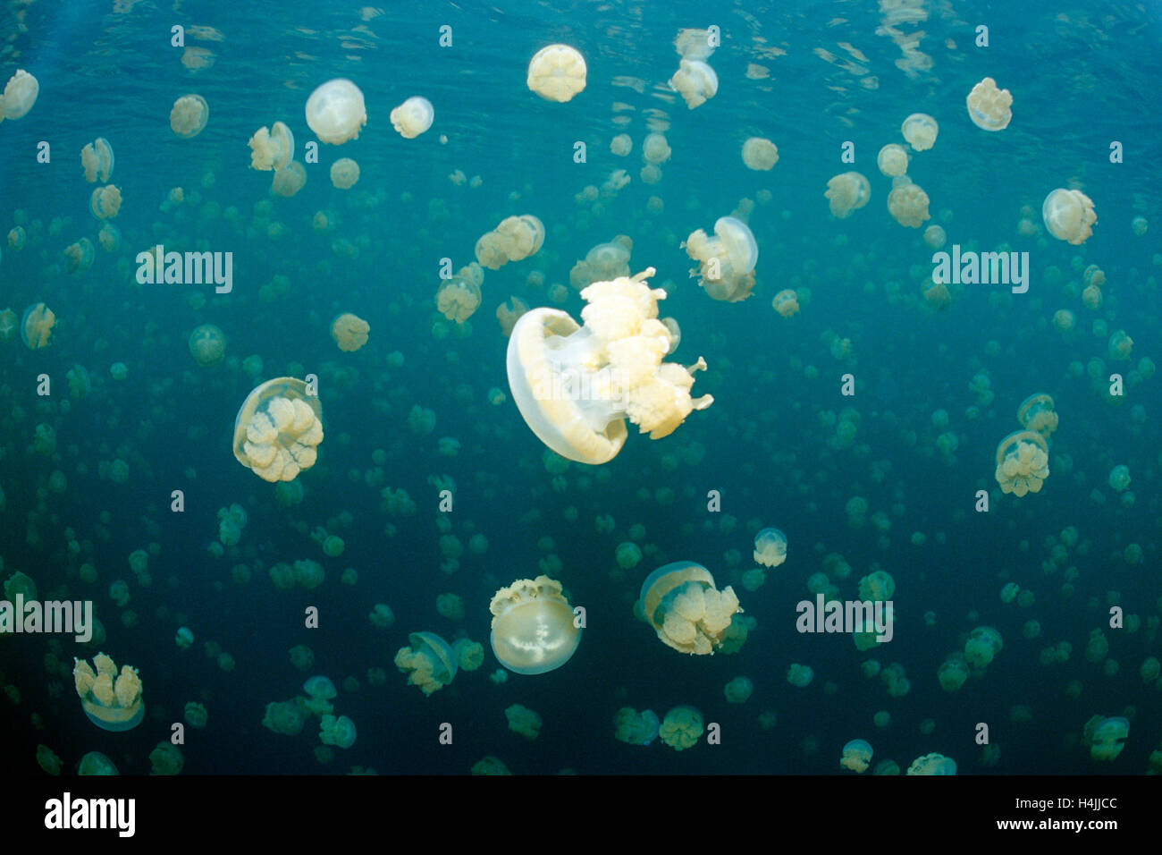 Jellyfish Lake with endemic stingless Spotted Jelly or Lagoon Jelly (Mastigias papua etpisonii), Palau, Micronesia, - Stock Image