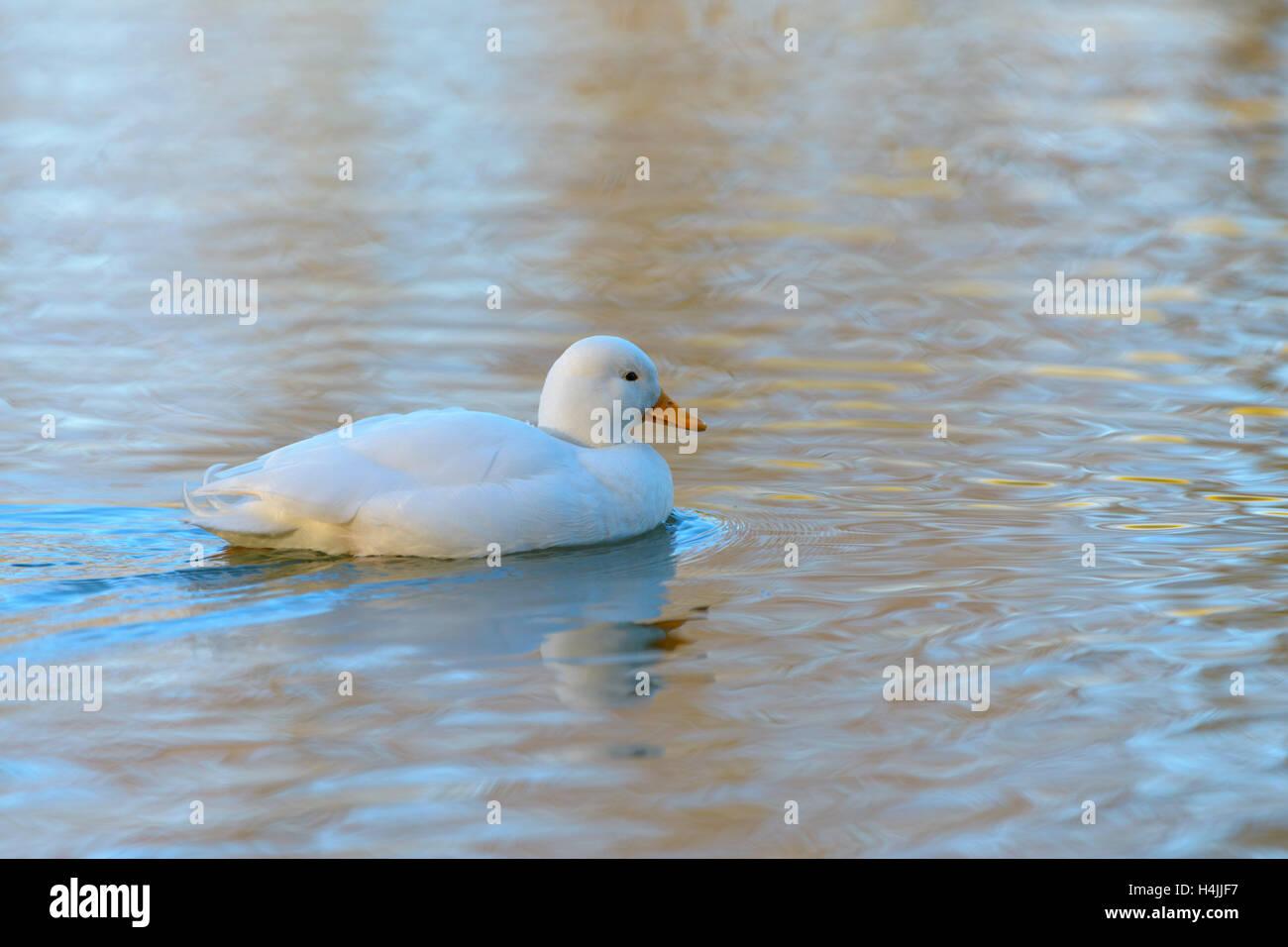 White duck (Anatidae), domestic duck in water, Bavaria, Germany - Stock Image