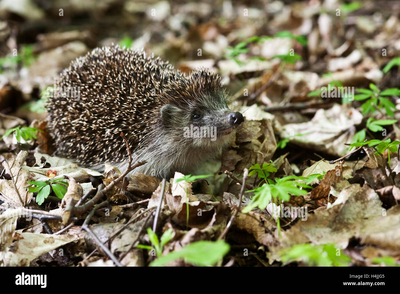 Hedgehog (Erinaceus europaeus) in a wood - Stock Image