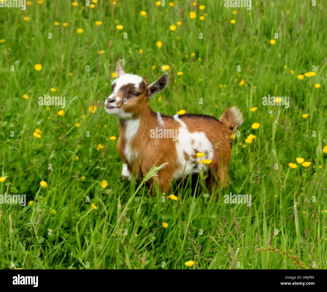 Pet Pygmy goat kid in an English meadow - Stock Image