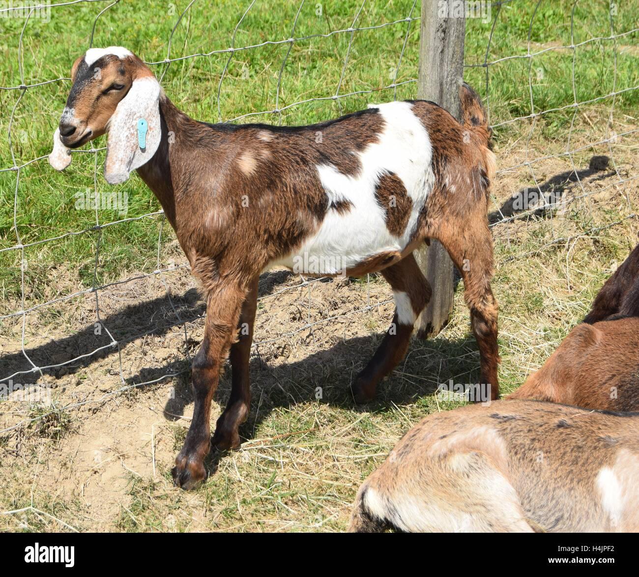 Pedigree Anglo Nubian goat kid enjoying the sunshine. - Stock Image