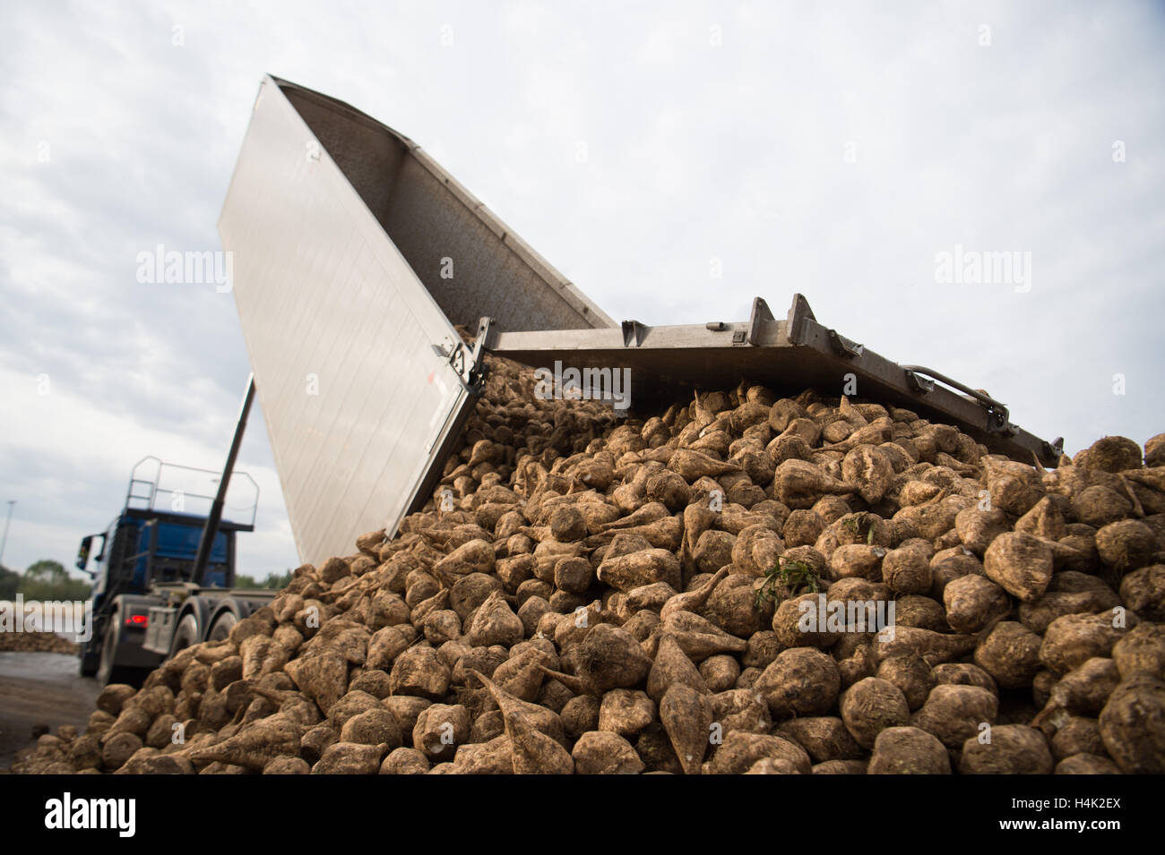 Euskirchen, Germany. 17th Oct, 2016. Sugar beets are moved into a storage location in front of the sugar factory - Stock Image