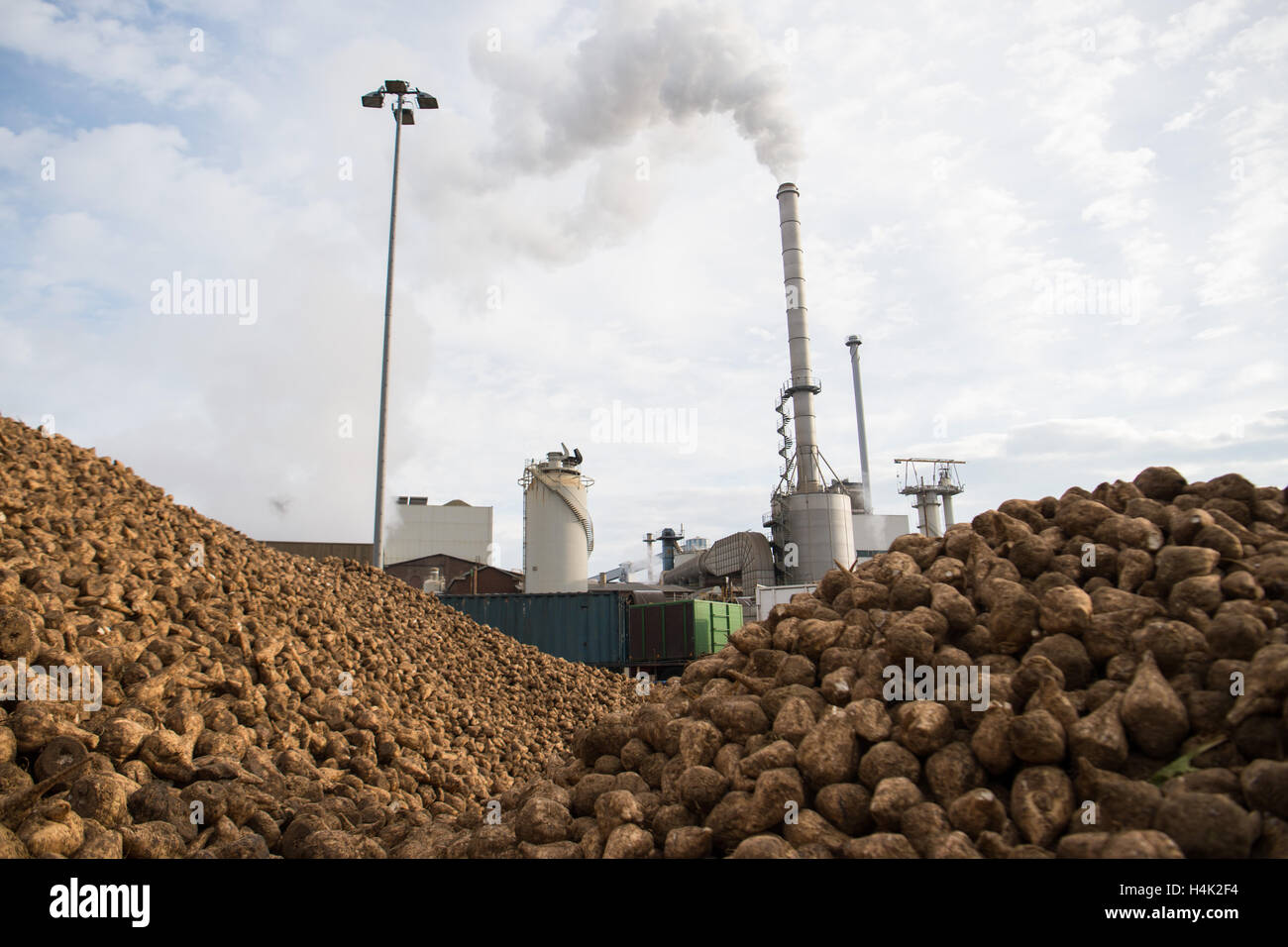 Euskirchen, Germany. 17th Oct, 2016. Sugar beets are stored at a storage location in front of the sugar factory - Stock Image