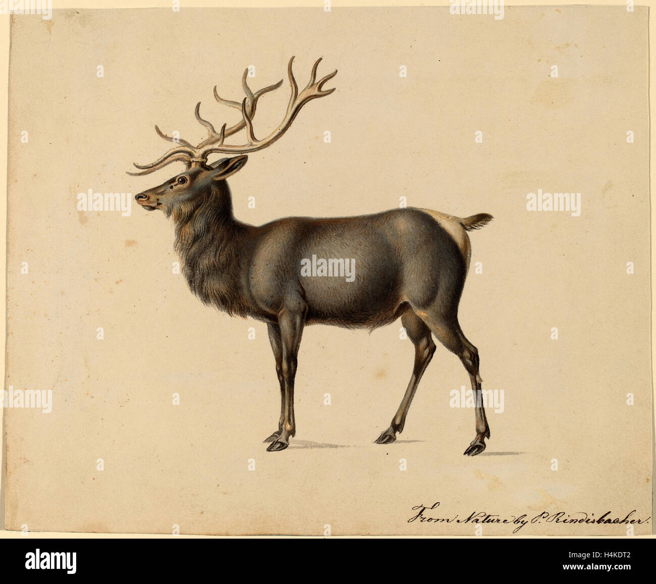 Peter Rindisbacher, European Elk, American, 1806 - 1834, gouache on wove paper - Stock Image