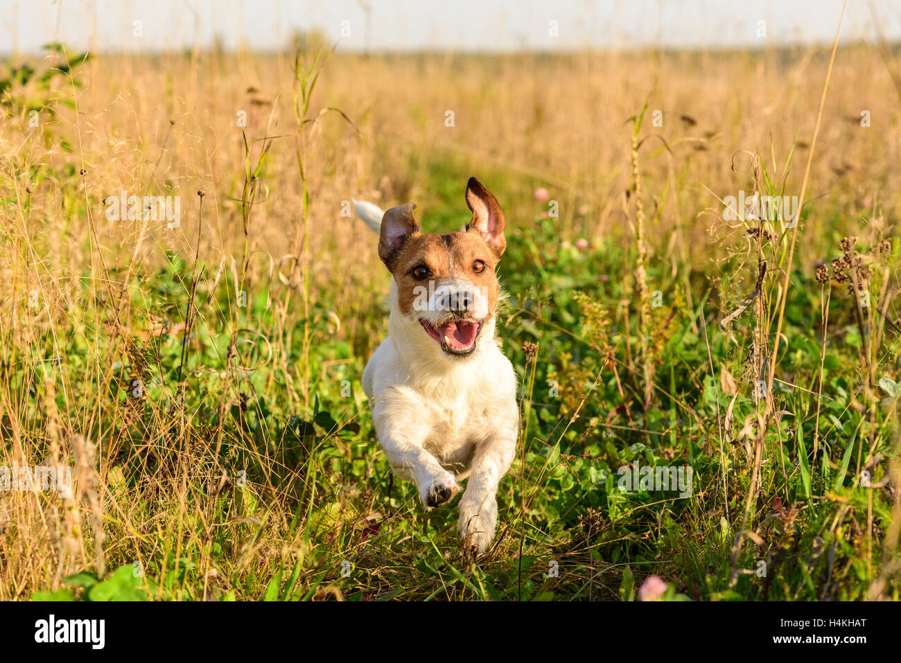 Cute Dog Running Freely At Field Stock Photo 123361920 Alamy