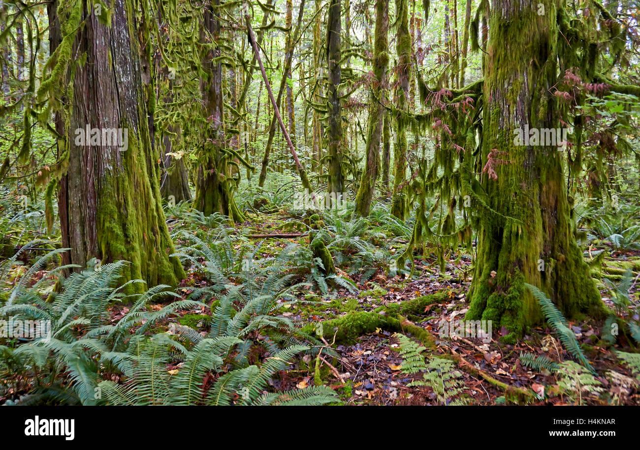 Temperate rainforest, Paradise Valley,Great Bear Rainforest,  Squamish, British Columbia, Canada - Stock Image