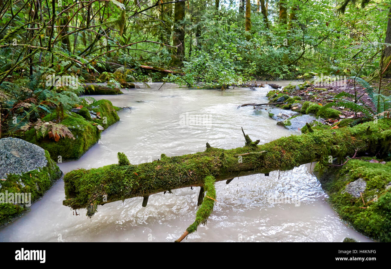 milky river in Great Bear Rainforest, Paradise Valley,Temperate rainforest,  Squamish, British Columbia, Canada - Stock Image