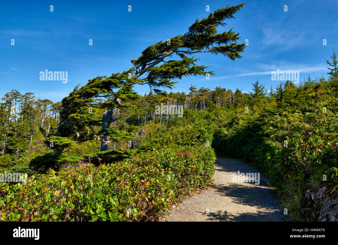 skew tree at Wild Pacific Trail, Pacific Rim National Park Reserve, Ucluelet, Vancouver Island, British Columbia, - Stock Image