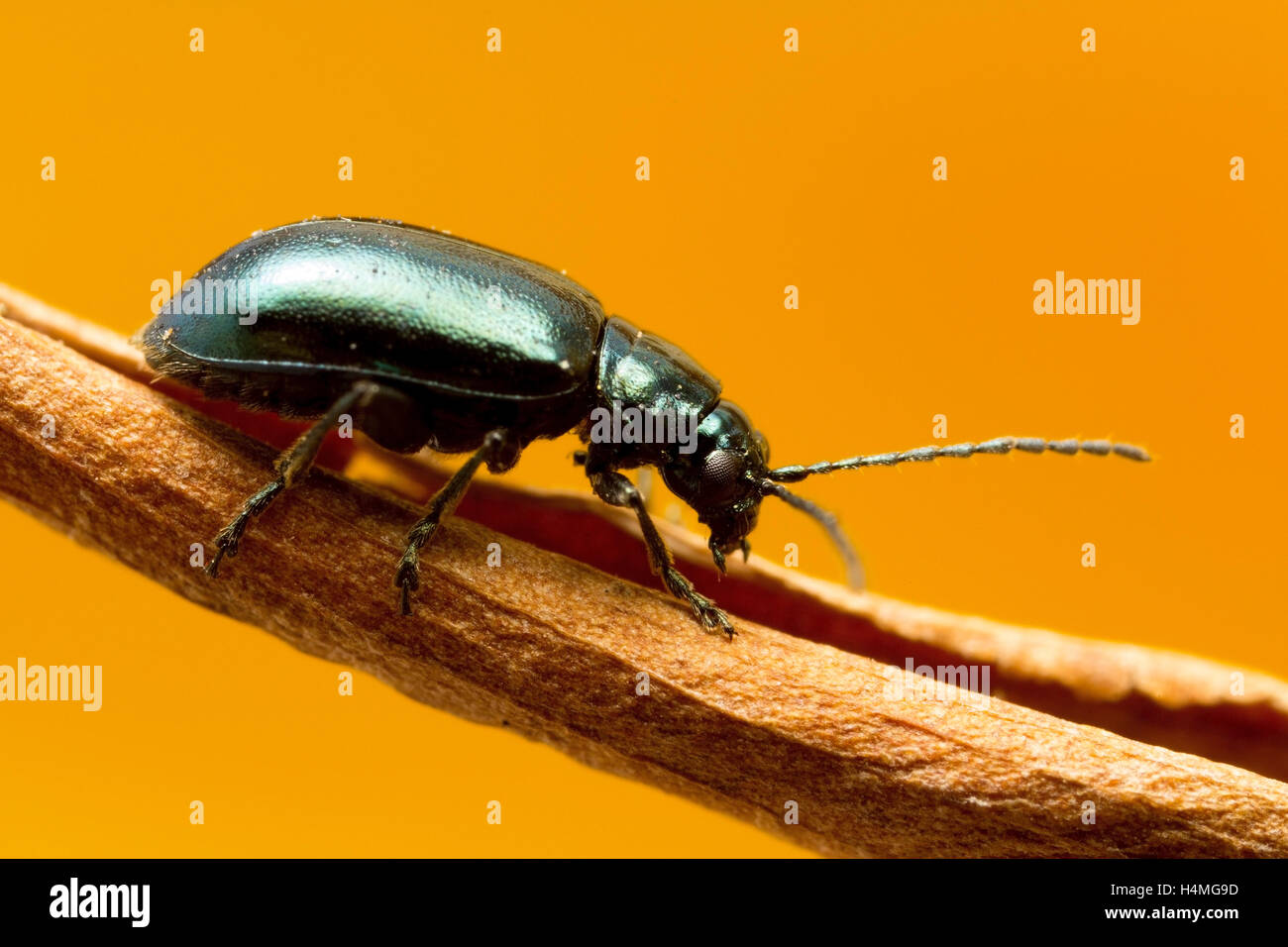 Green Flea beetle: they are called flea beetles because when in danger, they jump like fleas. Macro photo at around - Stock Image