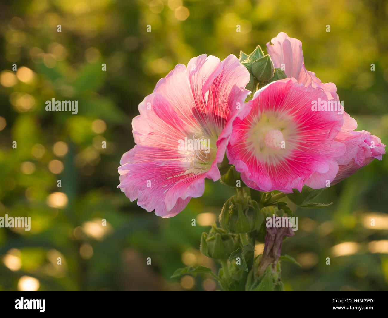 Pink Biennial Flower in evening light - Stock Image