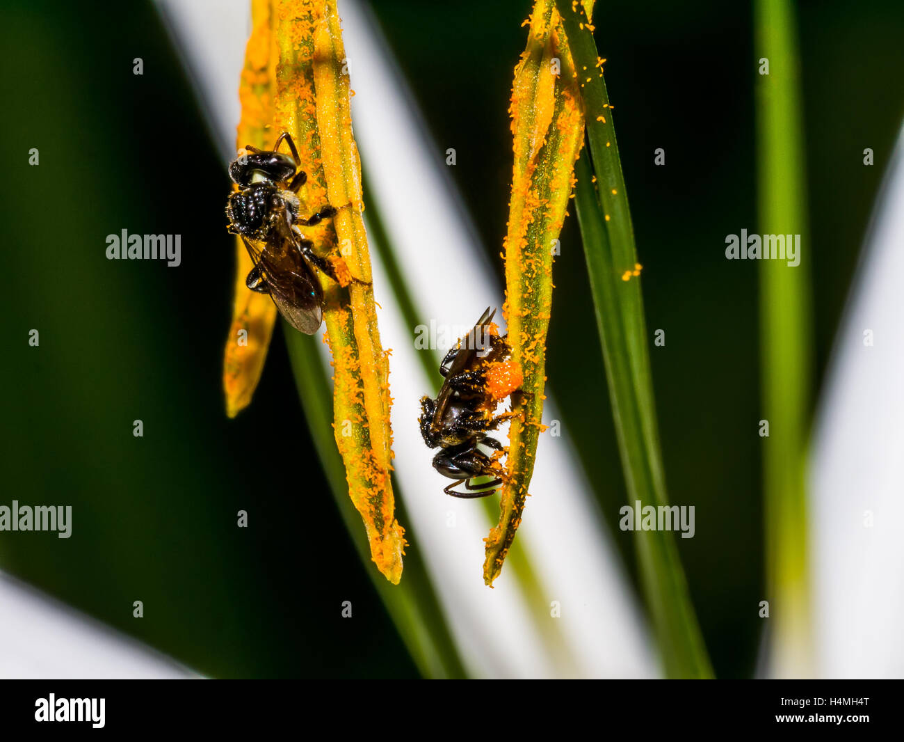 Stingless Bee on the pollen in the garden Stock Photo