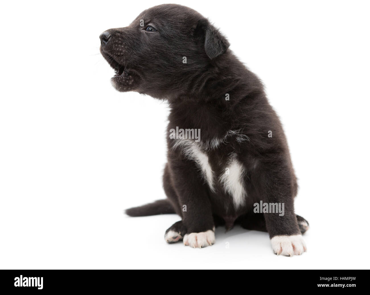 Small, black puppy cries and howls, isolated on white - Stock Image