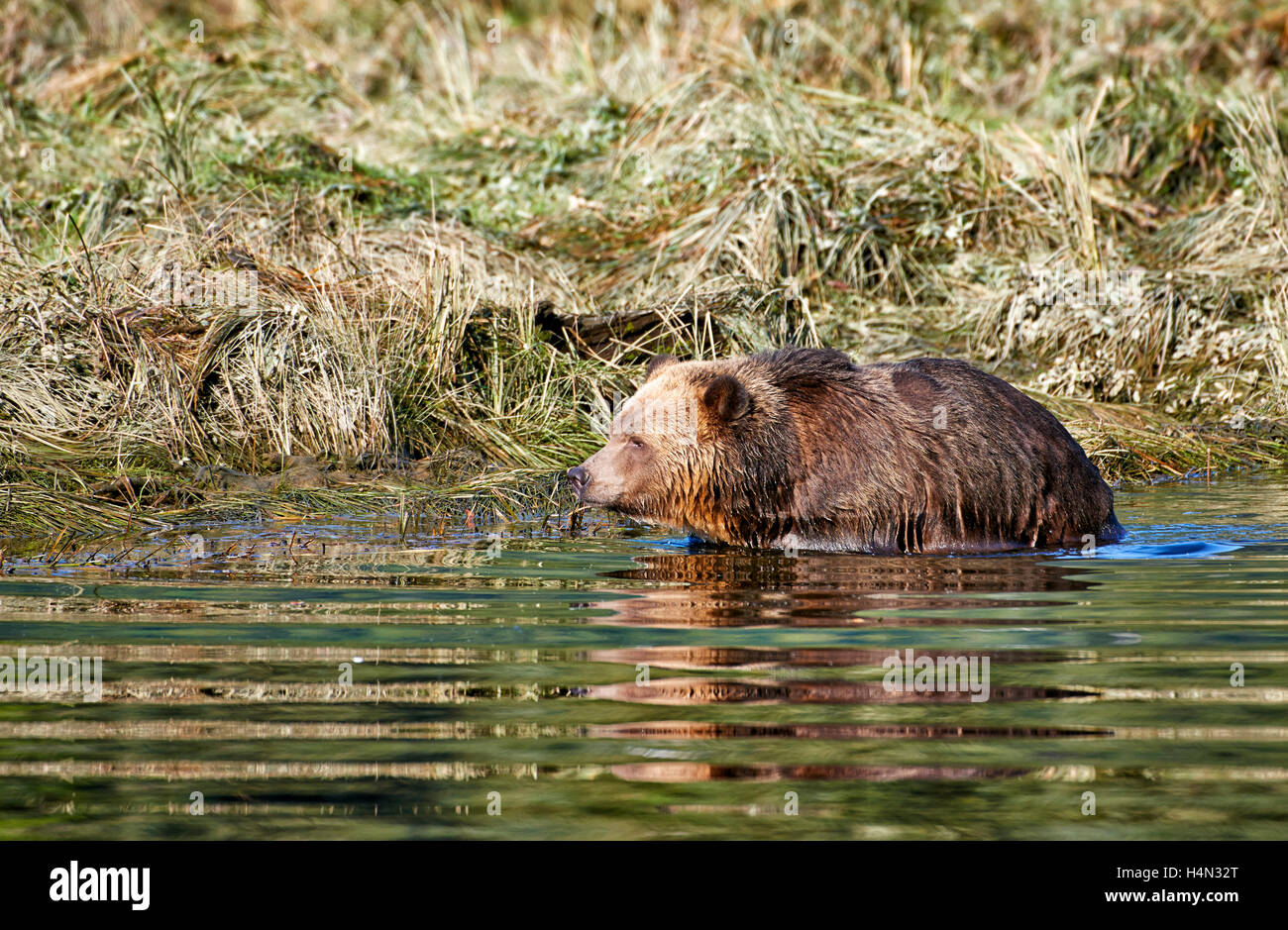 Grizzly bear hunting salmon, Ursus arctos horribilis, Great Bear Rainforest, Knight Inlet, British Columbia, Canada - Stock Image
