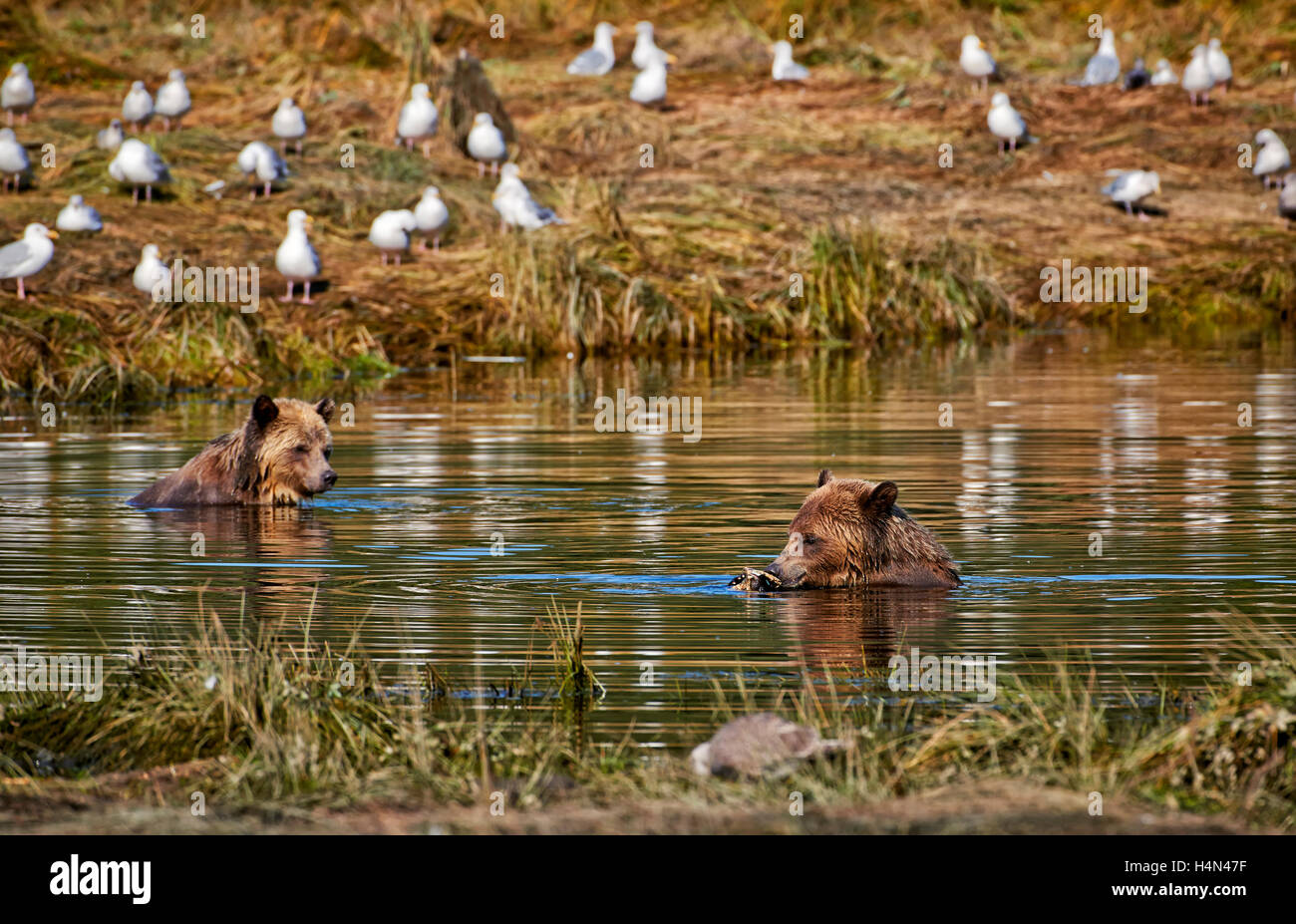 Grizzly bears hunting salmon, Ursus arctos horribilis, Great Bear Rainforest, Knight Inlet, British Columbia, Canada - Stock Image