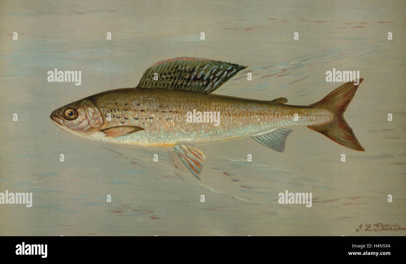 Grayling Fish Michigan | The Michigan Grayling Thymallus Ontariensis Harris William C