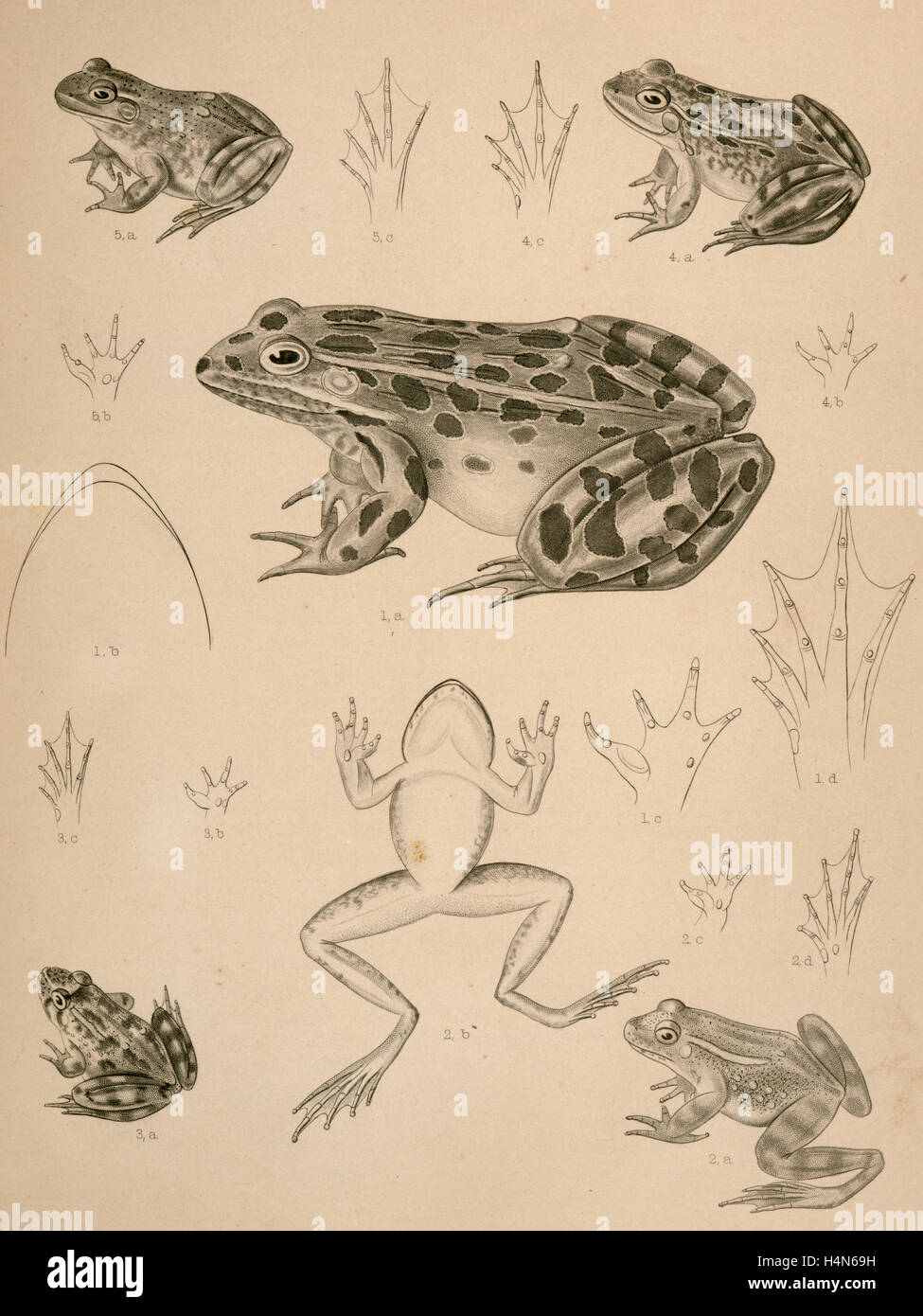 1. Pana halecina, Spotted Frog, b. under surface of head, c. under surface of left fore foot - Stock Image