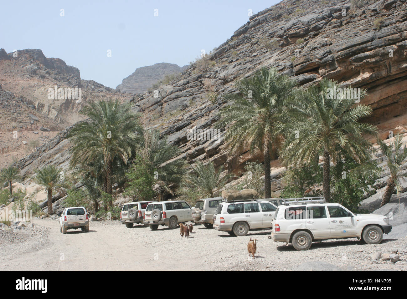 Tourist 4x4 vehicles parked in a gorge in central Oman. Wild goats wander amongst the palm trees - Stock Image