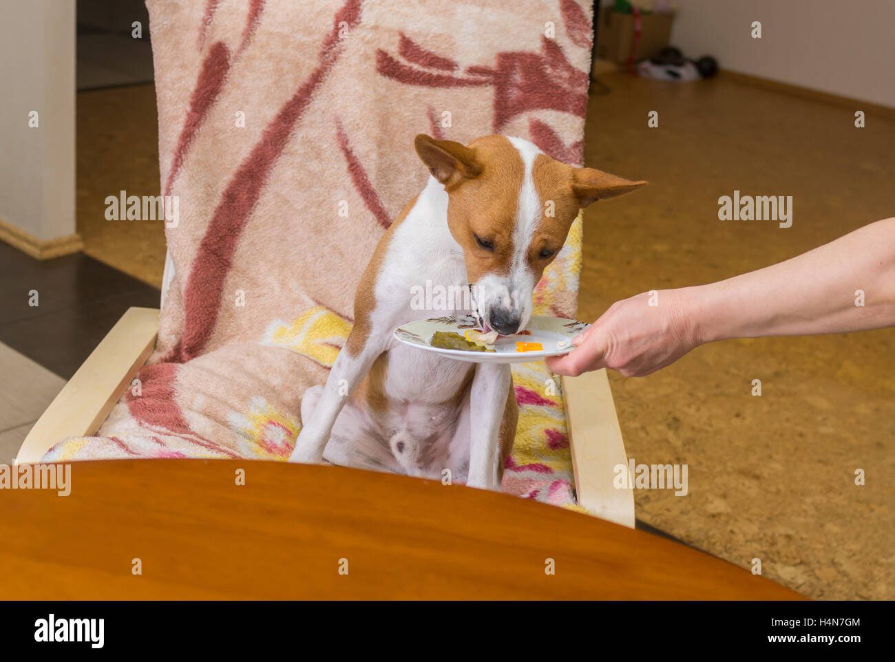 VIP servicing of spoilt child of fortune (Basenji dog) in own restaurant - Stock Image