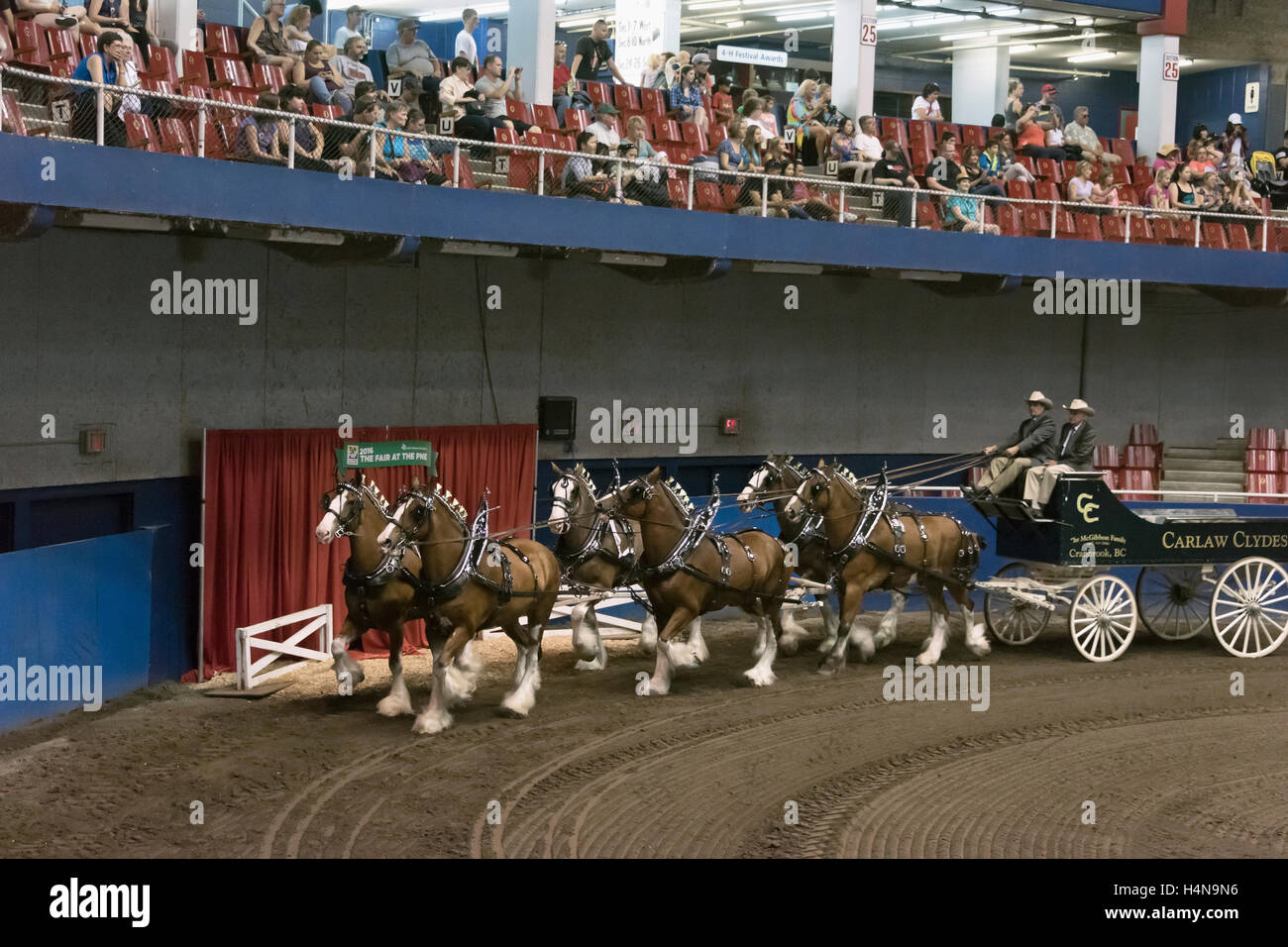 Gorgeous matched team of Clydesdale draft horses, Pacific National Exhibition, Vancouver, Canada - Stock Image