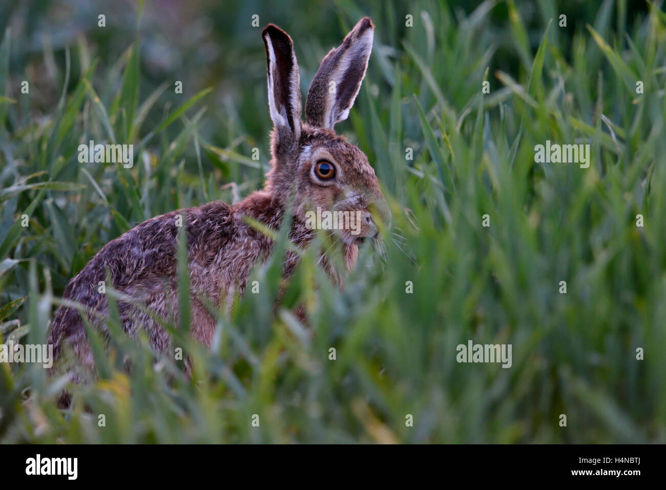 Brown Hare / European Hare ( Lepus europaeus ) hiding in, feeding on winter wheat, at dusk, late in the evening, - Stock Image