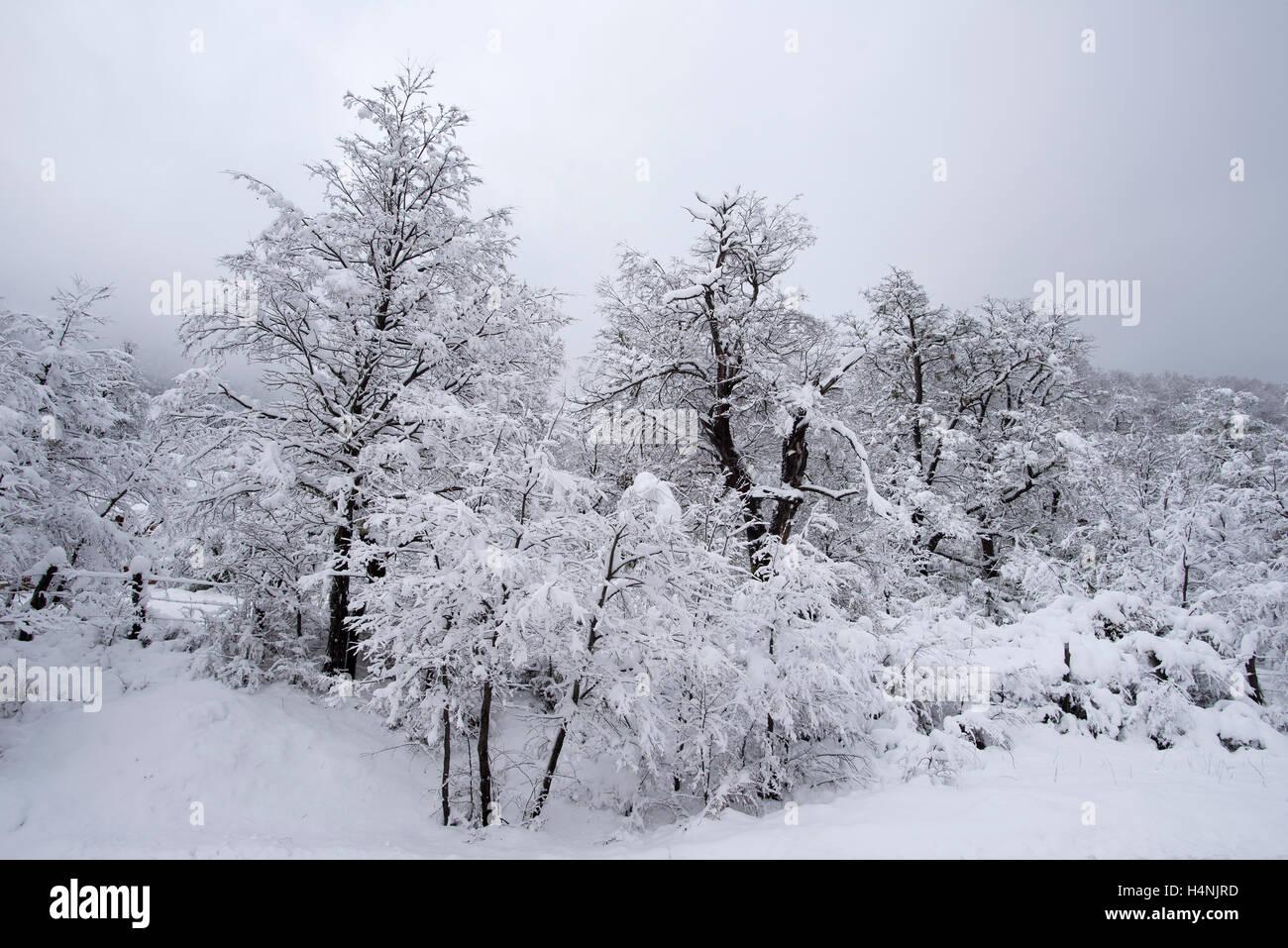 Invierno En Patagonia: Bosques En Invierno, Patagonia, Chile. Winter Forest