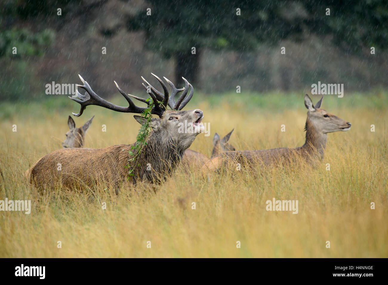 Calling red deer stag with does in the rain during the rutting season. Richmond Park, London, UK - Stock Image