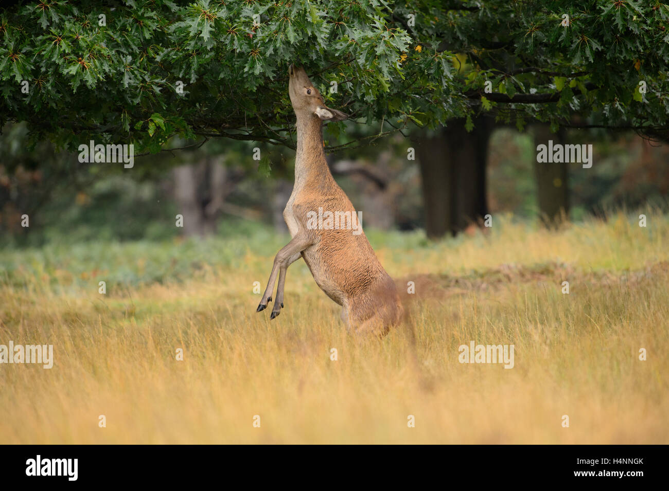 Female red deer standing on her hind legs to reach and eat oak leaves. Richmond Park, London, UK. - Stock Image