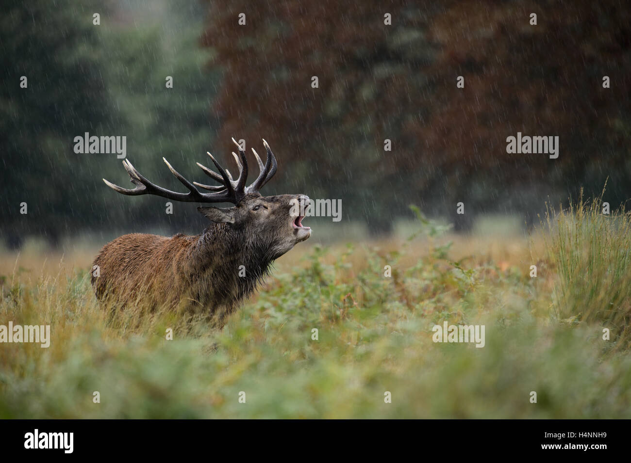 Calling red deer stag in the rain during the rutting season. Richmond Park, London, UK - Stock Image