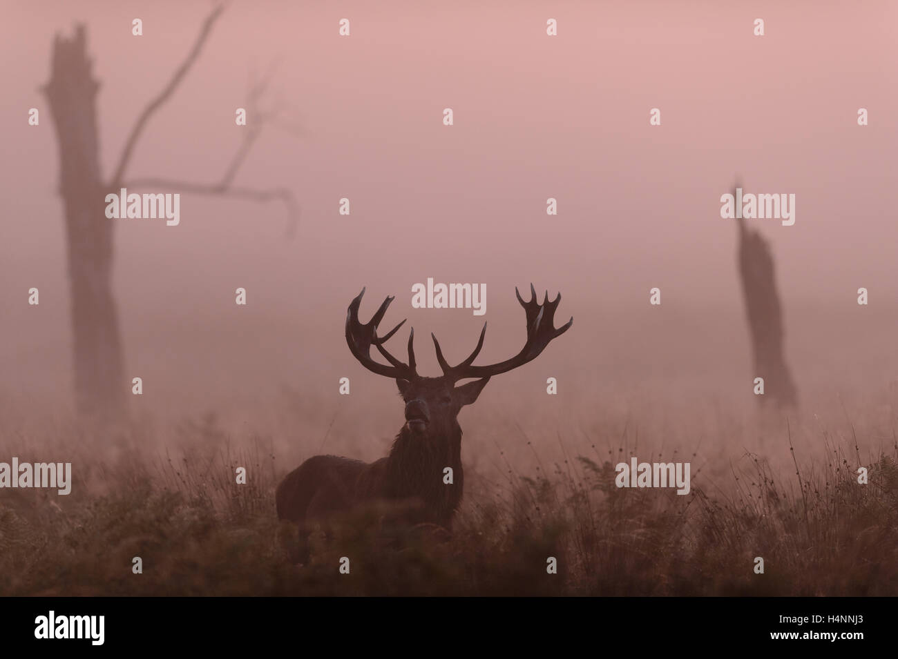 Red deer stag flehming to catch the scent of females. Early misty morning at sunrise, Richmond Park, London, UK. - Stock Image
