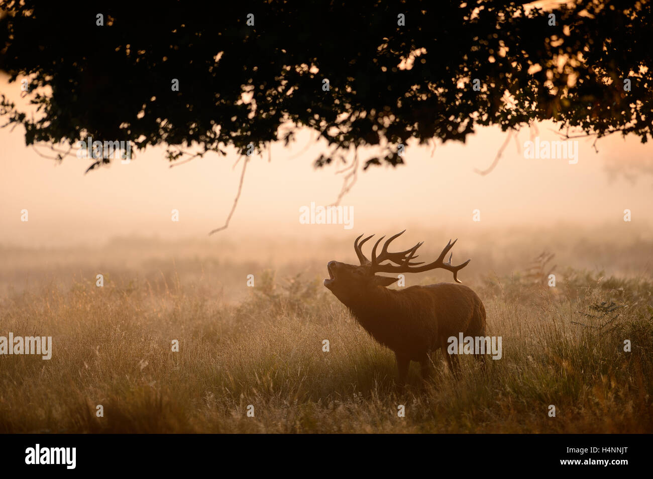 Red deer stag calling in early misty morning at sunrise, Richmond Park, London, UK. - Stock Image