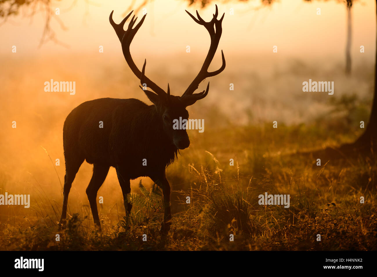 Red deer stag walking in sunlight on a misty morning. His antlers form a shadow in the fog in front of his head. - Stock Image