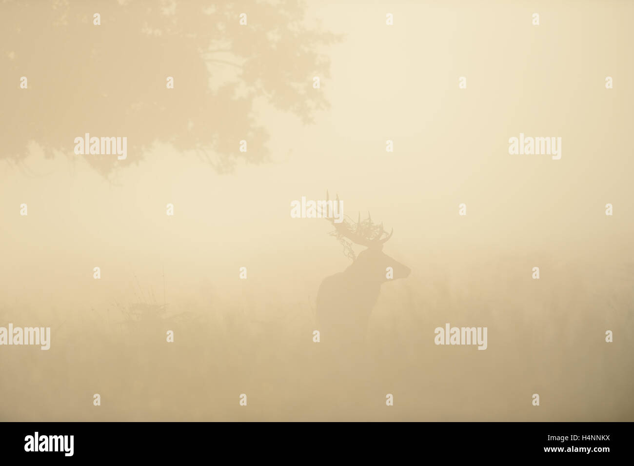 Vague silhouette of a red deer stag in the reddish mist, backlit by sunrise. Richmond Park, London, UK. - Stock Image