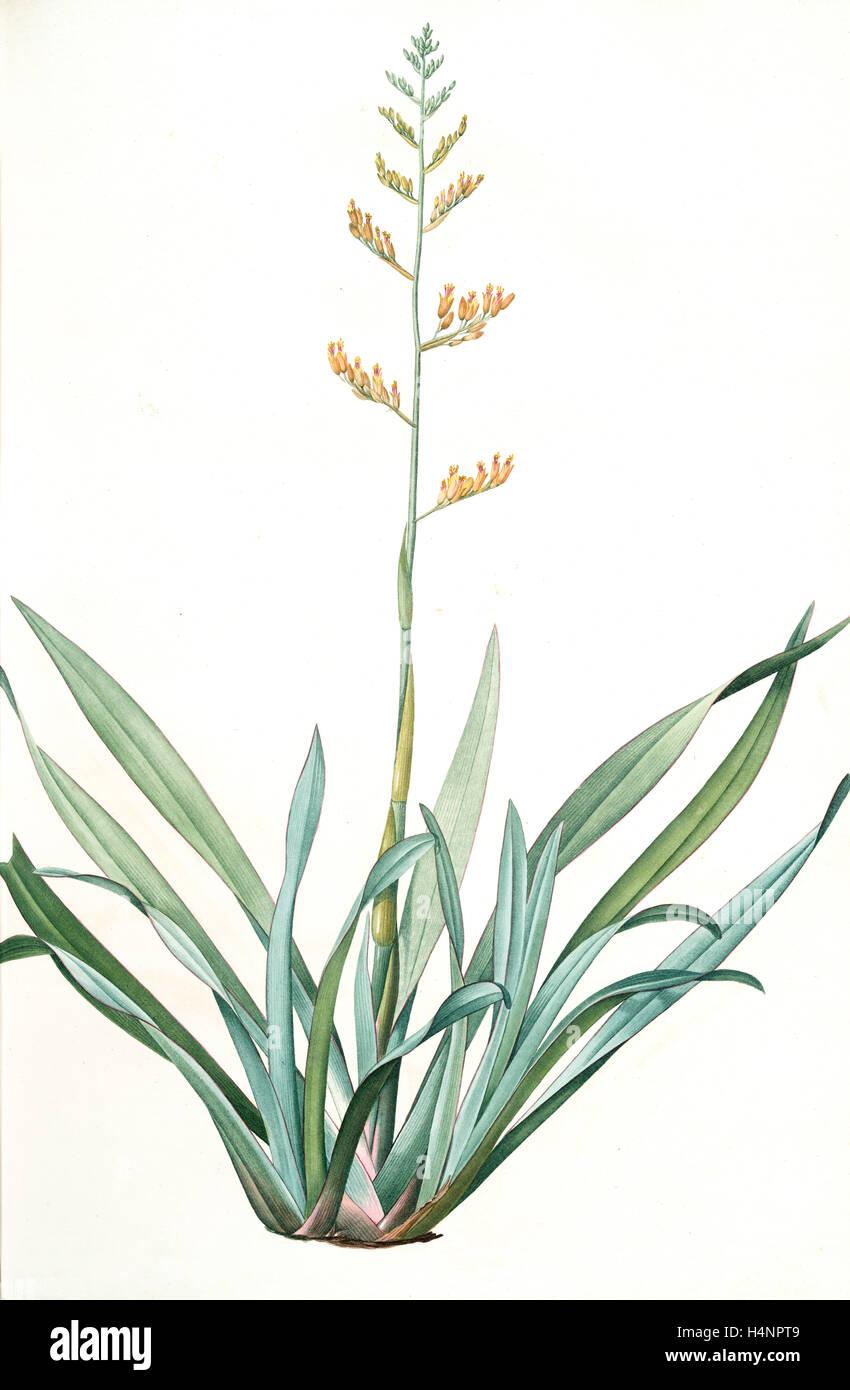 Phormium tenax, Phormium tenax; Phormium lin de la Nouvelle-Zèlande; New Zealand Faux, Redouté, Pierre - Stock Image