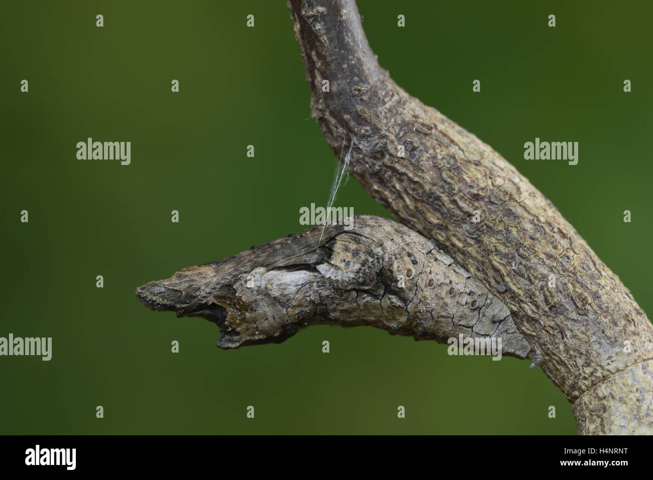 Giant Swallowtail (Papilio cresphontes), chrysalis, broken branch mimicry, Hill Country, Texas, USA - Stock Image
