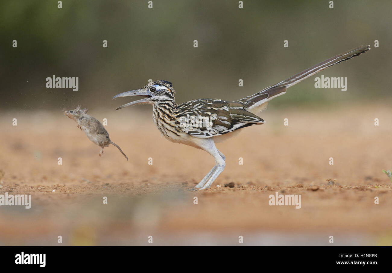 Greater Roadrunner (Geococcyx californianus), adult with mouse prey, Rio Grande Valley, South Texas, Texas, USA - Stock Image