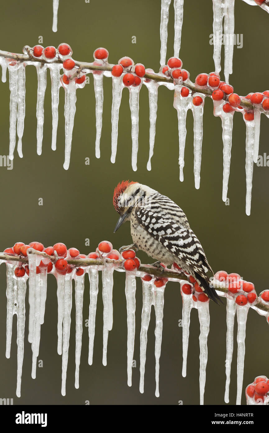 Ladder-backed Woodpecker (Picoides scalaris), adult male perched on icy branch of Possum Haw Holly with berries, - Stock Image