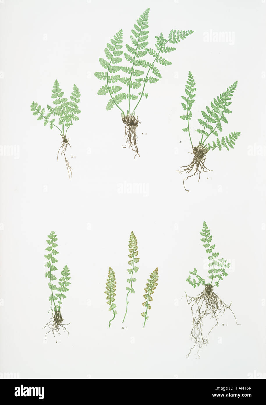 A. Woodsia ilvensis. B. W. alpina. The oblong woodsia - The Alpine, or Deltoid woodsia, Bradbury, Henry Riley (1821 Stock Photo