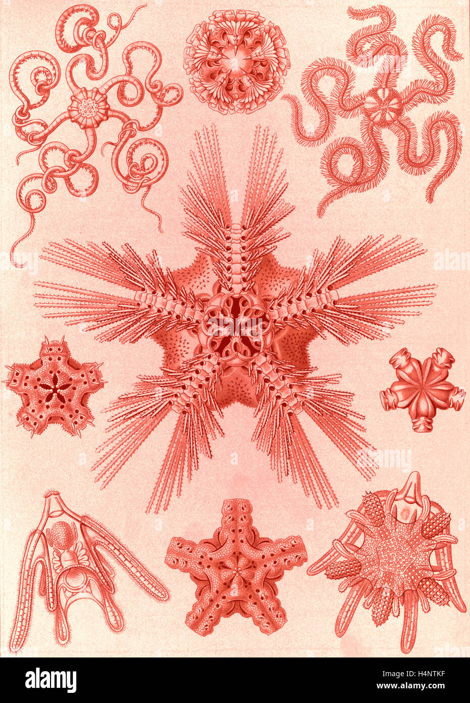 Illustration shows marine invertebrates related to starfish. Ophiodea. - Schlangensterne, 1 print : color lithograph - Stock Image